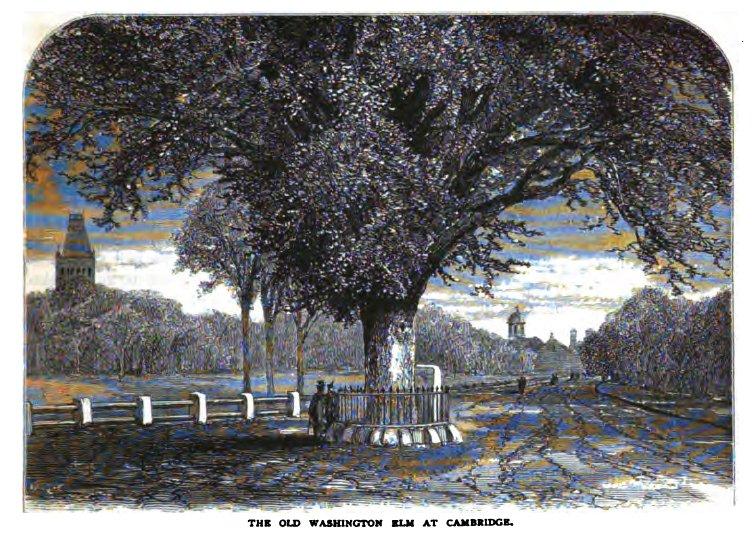Washington_Elm,_Cambridge